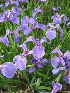 گل آیریس ستوزا